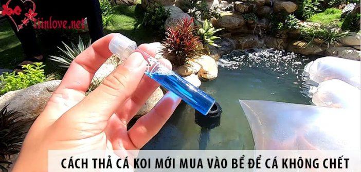 Cách thả cá koi mới mua vào bể để cá không chết