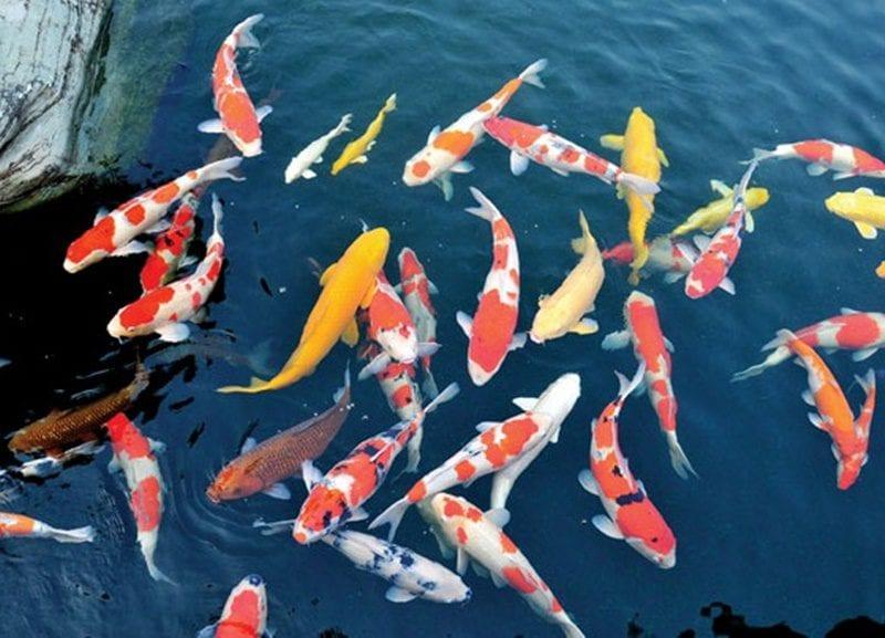 Có nhiều nguyên nhân khiến cá koi dễ bị chết khi mới được thả vào