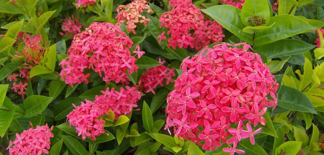 Hoa bông trang thường được dùng để trang trí